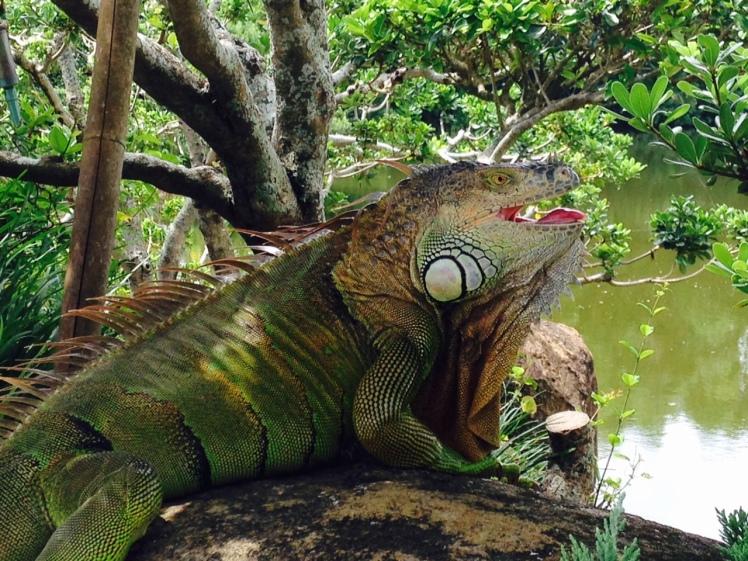 FloridaIguana